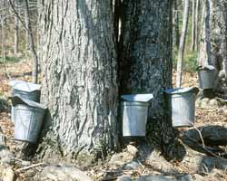 Two tree trunks with maple collection buckets attached