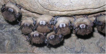 bats with White Nose Syndrome hibernating in cave