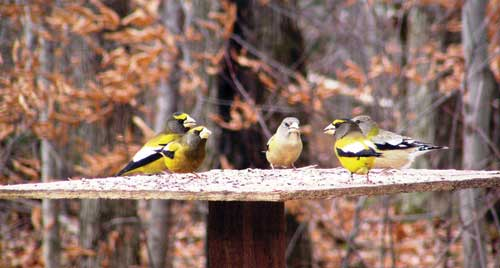 group of evening grosbeaks at feeding station
