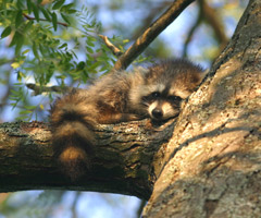 A raccoon asleep on a tree limb
