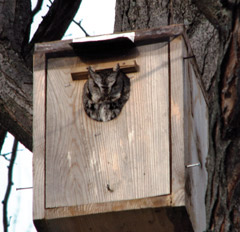 An owl inside a large birdhouse in a tree