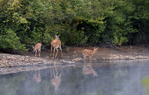Deer are reflected in the water of the Hudson River
