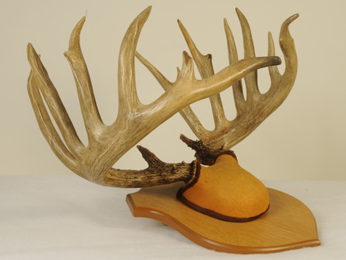A mounted set of deer antlers