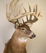 A mounted head of a deer with big antlers