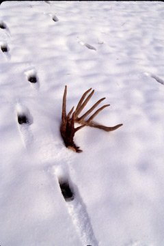A shed deer antler by deer tracks in the snow