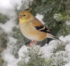 A female goldfinch in snowy evergreen branches