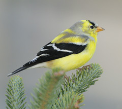A male goldfinch perched on an evergreen branch
