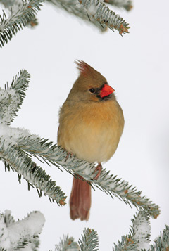 A female cardinal peched on a snowy branch