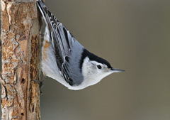 A white-breasted nuthatch clining to a tree trunk