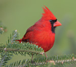 A red male cardinal on a branch