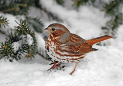 A fox sparrow standing in the snow