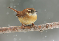 carolina wren on a twig