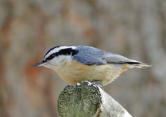 A red-breasted nuthatch perched on a cut log