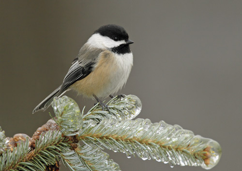 A chickadee perched on a snowy evergreen branch