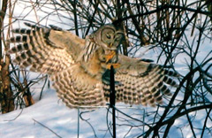 A barred owl landing on a bird feeder in winter