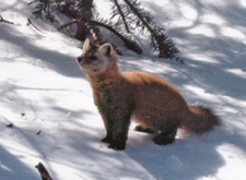 A pine marten standing in the snow