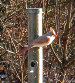 A pale colored cardinal perched on a bird feeder