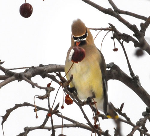 A cedar waxwing perched in a tree with red fruit