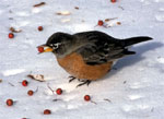 A robin standing in the snow holding a red berry