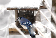 A bluejay at a birdfeeder in winter