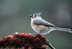 A tufted titmouse perched on staghorn sumac fruit