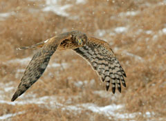 A bird of prey in flight