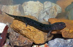 An eastern hellbender salamander sitting on some yellow rocks
