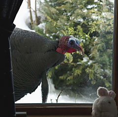 A wild turkey peeking inside the window of a house