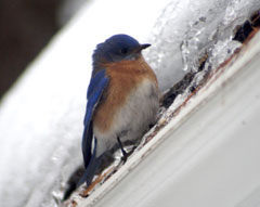 A bluebird in winter
