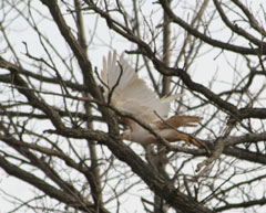 A partially albino hawk taking off from the branches of a tree