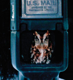 An eastern screech owl sitting inside a US mailbox
