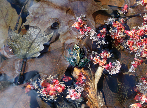 A northern cricket frog sitting on a log in the water surrounded by fallen leaves and flower parts