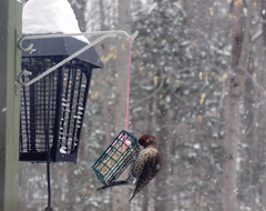 A female northern flicker perched on a suet feeder on a snowy day