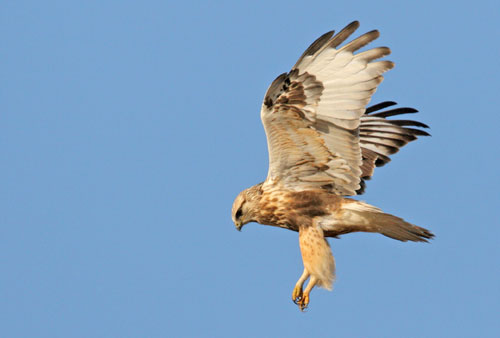 A hawk in flight seen from the side