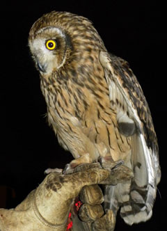 A short-eared owl held by a gloved hand