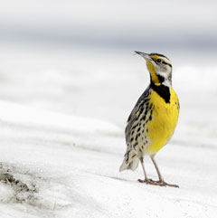 An eastern meadowlark standing on the snow