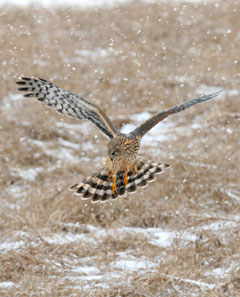 A female northern harier about to land on the ground during a light snow