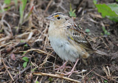 A grasshopper sparrow sitting on the ground