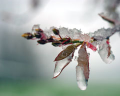 Apple blossoms and leaves coated in ice