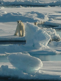 Two polar bears walking on ice flows