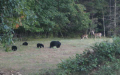 A bear and three cubs plus two deer standing in a field