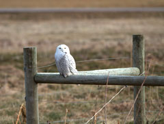 A snowy owl standing on the rail of a wooden fence