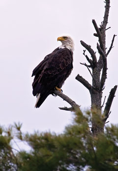 A bald eagle perched in a pine tree top.