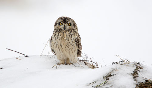 A short-eared owl standing in the snow