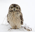 A short-eared wl standing in the snow.