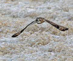 A short-eared owl in flight over some frozen grassland