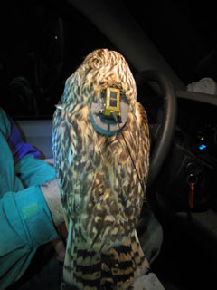 The back of an owl showing an attached radio transmitter