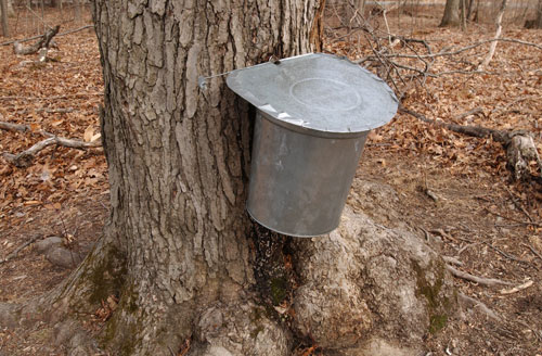 A metal sap bucket attached to a maple tree
