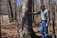 A man installs blue tubing to collect sap from maples