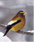 grosbeak sitting on tree in winter